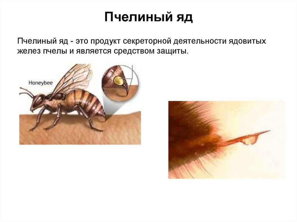 Пчелиный яд - полезные свойства для организма человека
