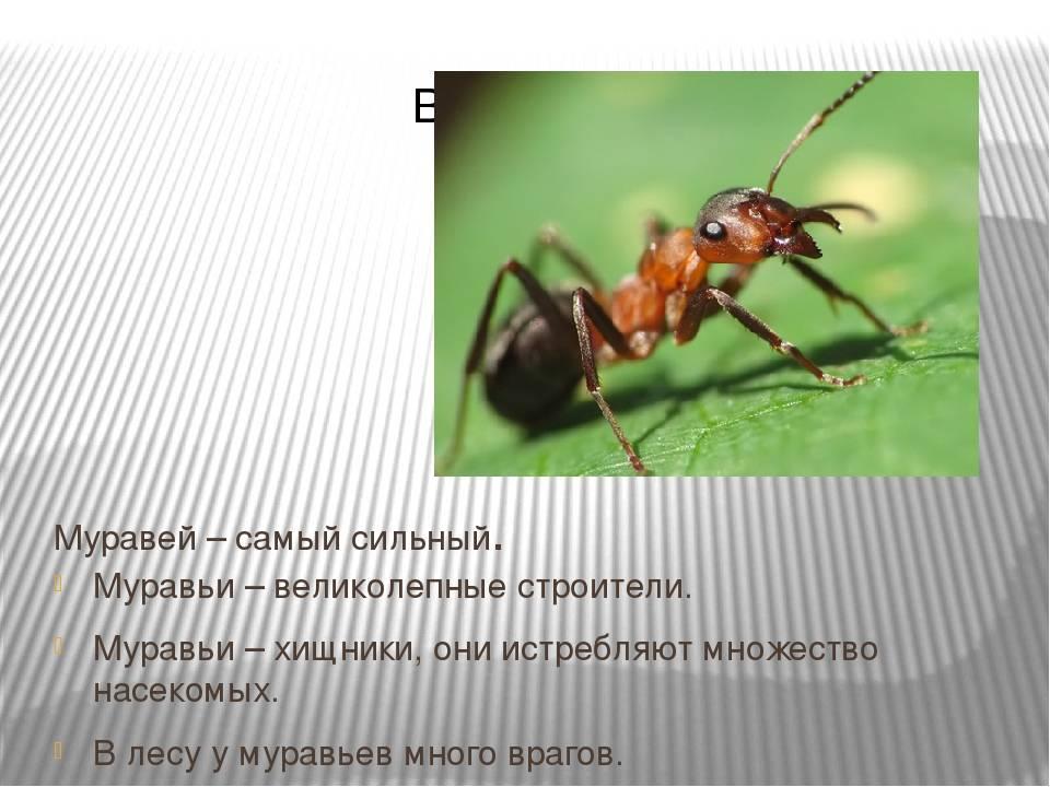 Муравей – описание, виды, чем питается, где обитает, фото