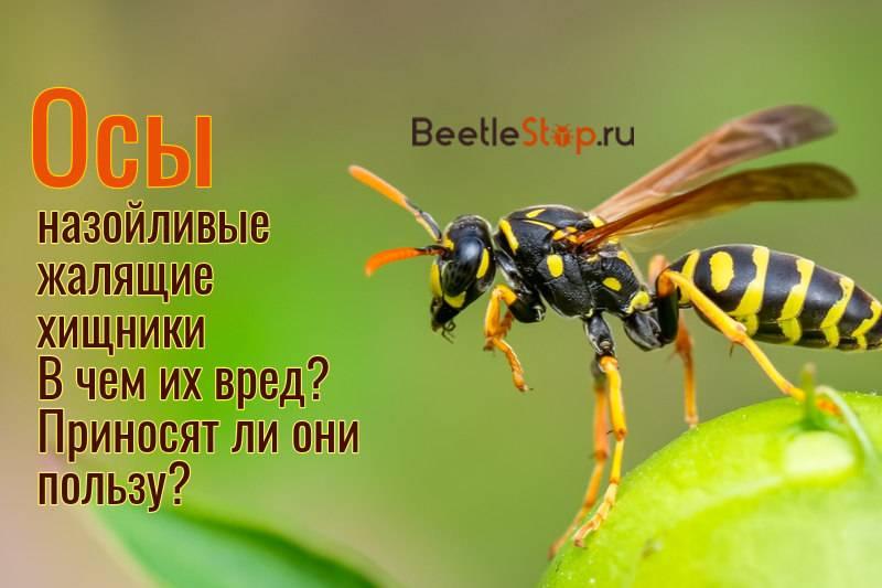Оса - полезное насекомое, роющие осы, дорожные осы