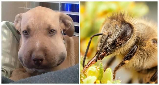 Пчела укусила собаку в нос: что делать, признаки укуса, методы лечения и первой помощи