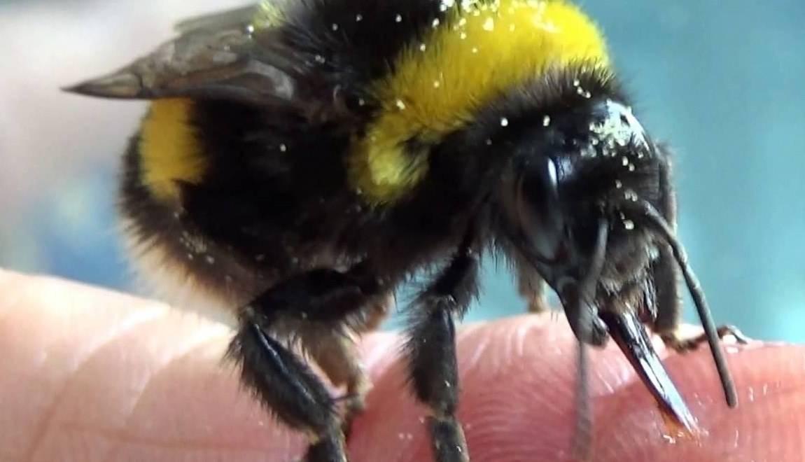 Укусила пчела или шмель, что делать, как снять отёк? первая помощь в домашних условиях