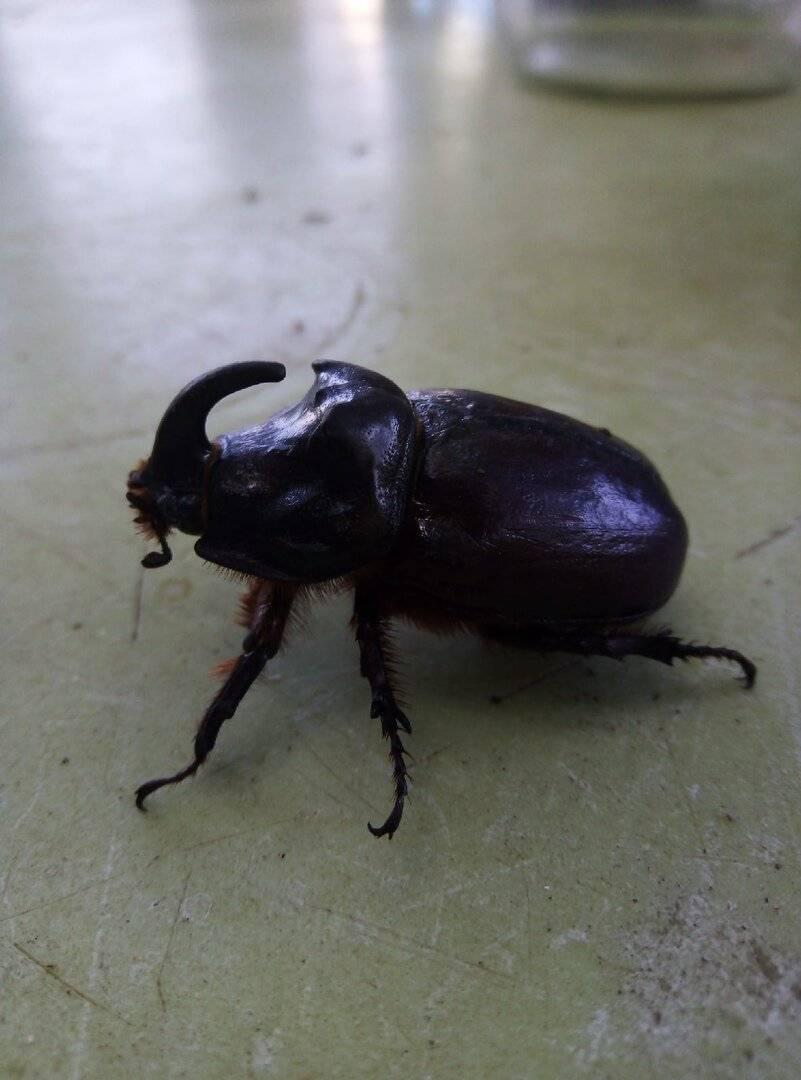 Вред или польза от жука-носорога? / асиенда.ру