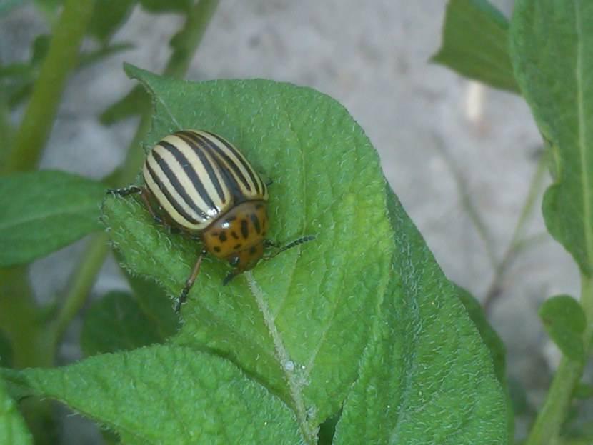 Колорадский жук насекомое. описание, особенности, образ жизни и среда обитания жука   живность.ру