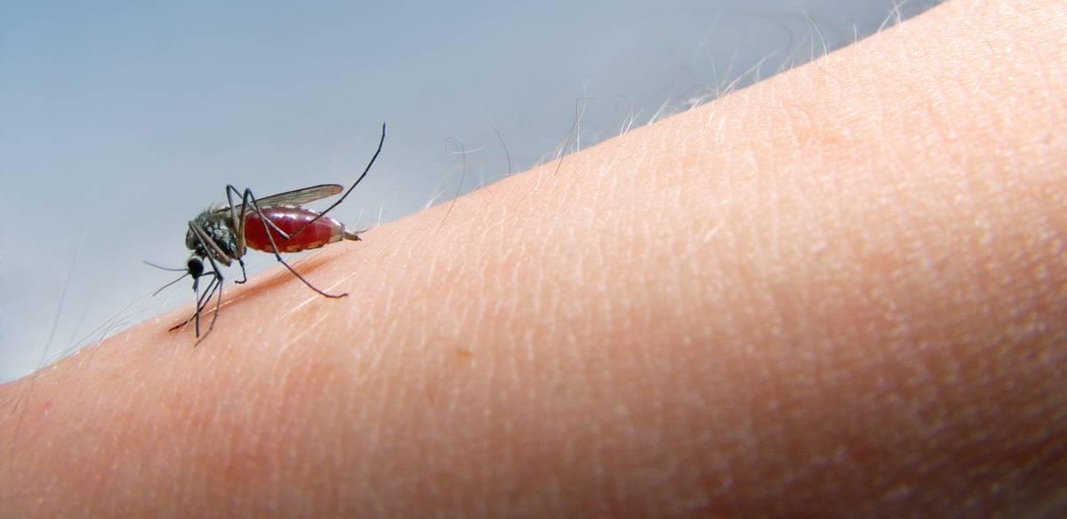 Малярийный комар – разносчик смертельного заболевания