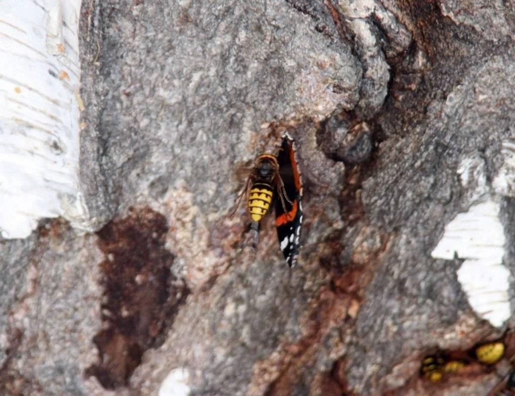 Где зимуют осы, спят ли насекомые в холодный период года? осы покидают свои дома осенью, где же они зимуют? как зимуют осы