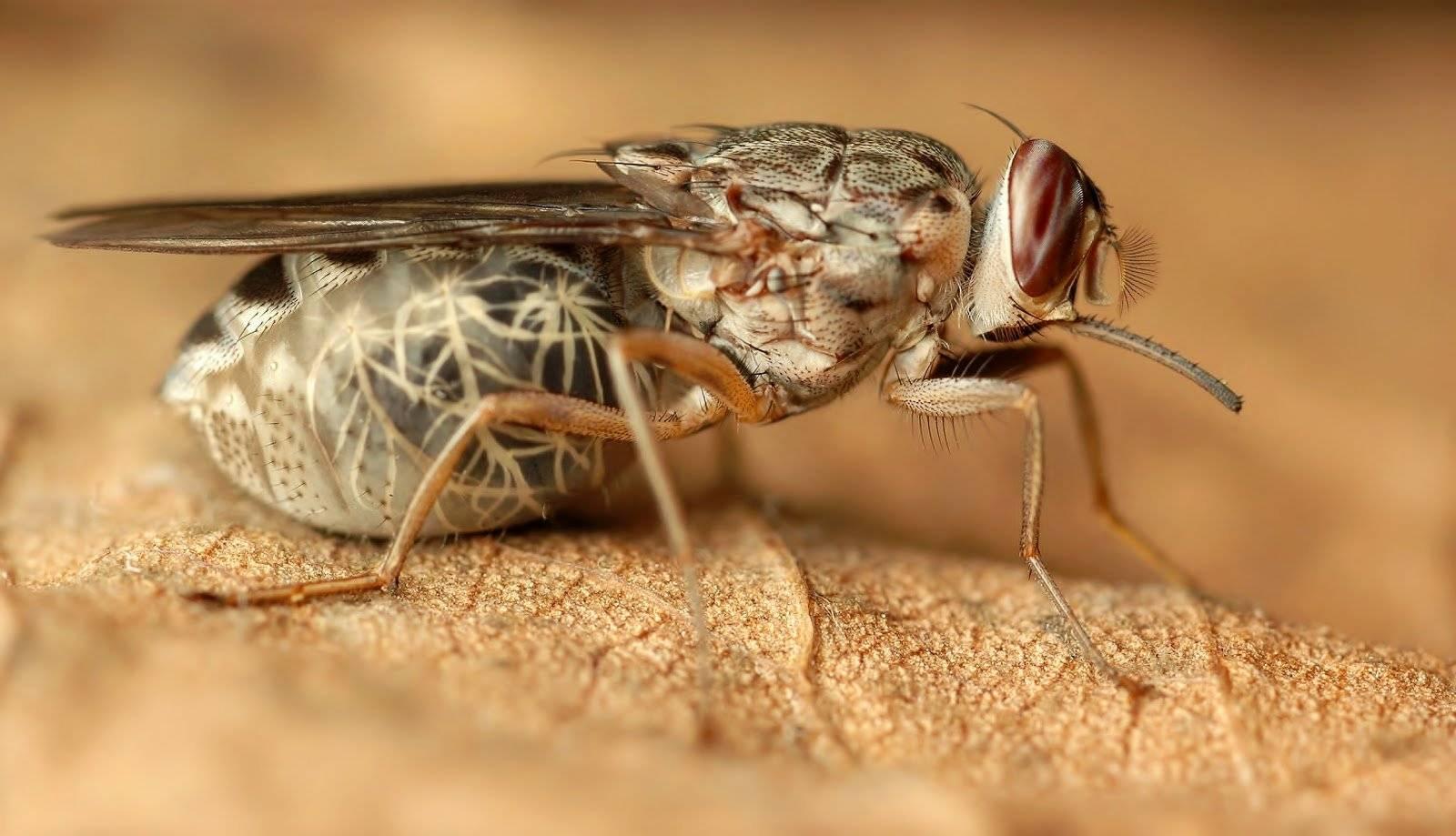 Муха цеце: фото и описание