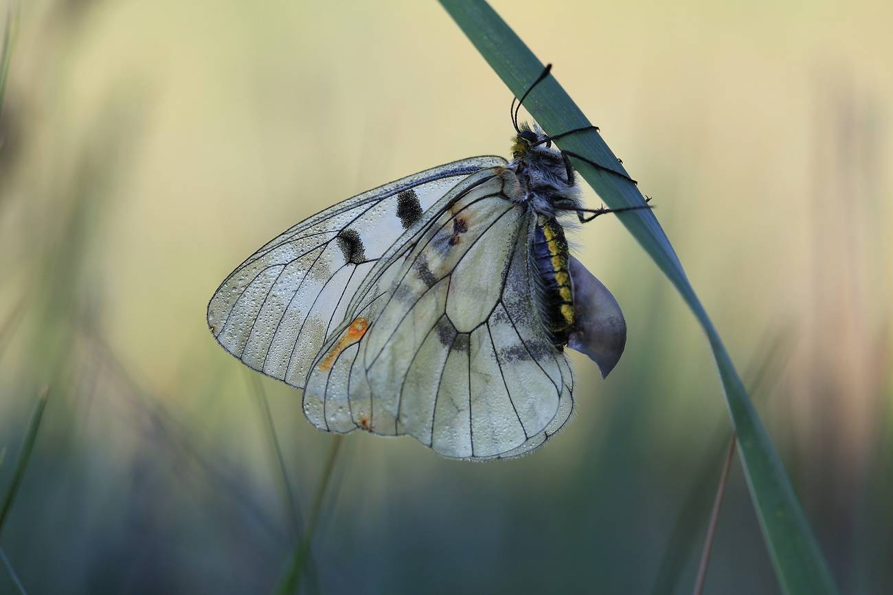 Бабочки медведицы: фото, описание представительниц семейства