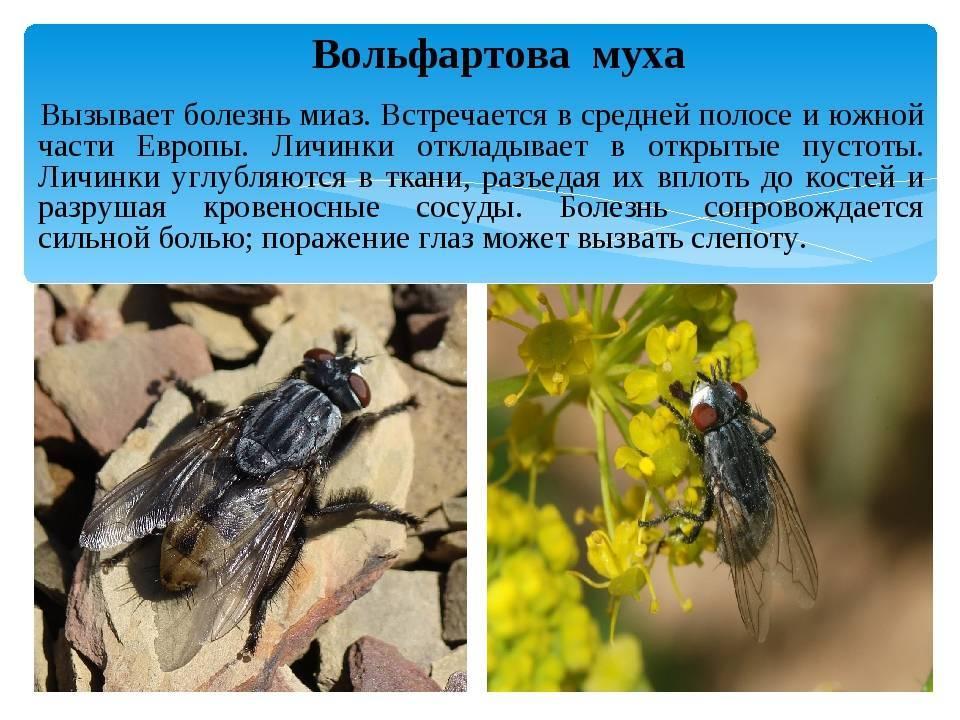 Болезнь вызванная личинками мух 4 буквы — parazit24