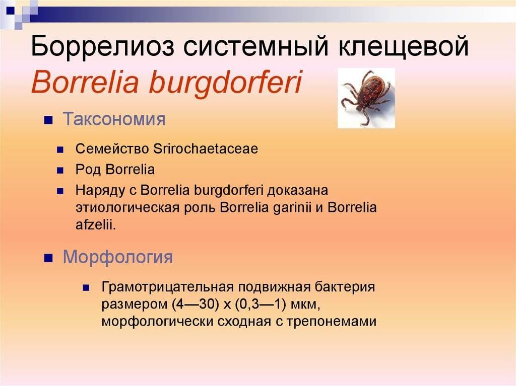 Что такое клещевой боррелиоз или болезнь лайма