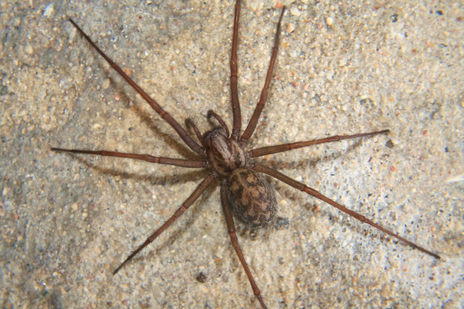 Домовый паук или тегенария домовая