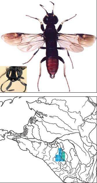 Оруссус паразитический: образ жизни и охранный статус лесного энтомофага