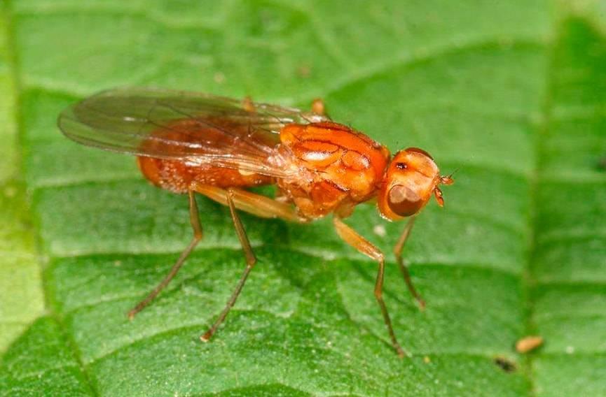 Как избавиться от морковной мухи без химии - дачные советы