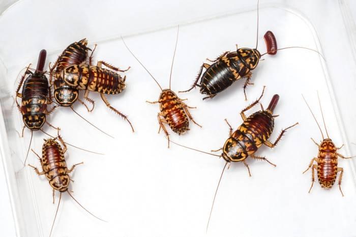 К чему снятся тараканы - много тараканов в квартире что значит