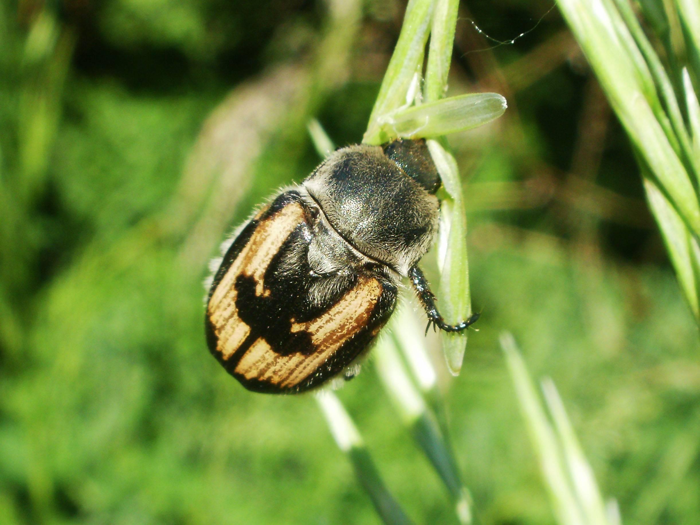 Хлебный жук кузька – вредитель злаковых полей