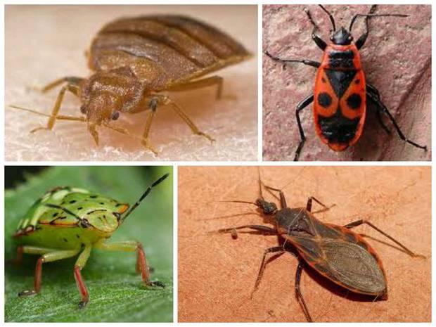 Клопы - отряд полужесткокрылые: описание насекомого, особенности строения, питание и размножение, значение в природе и наносимый вред человеку русский фермер