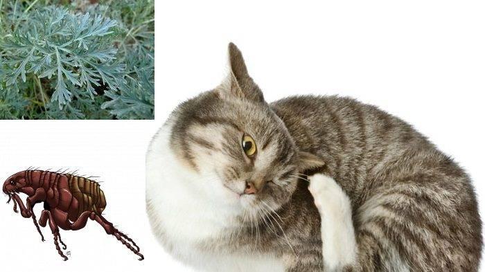 Как вывести блох у котёнка и взрослого кота полынью?