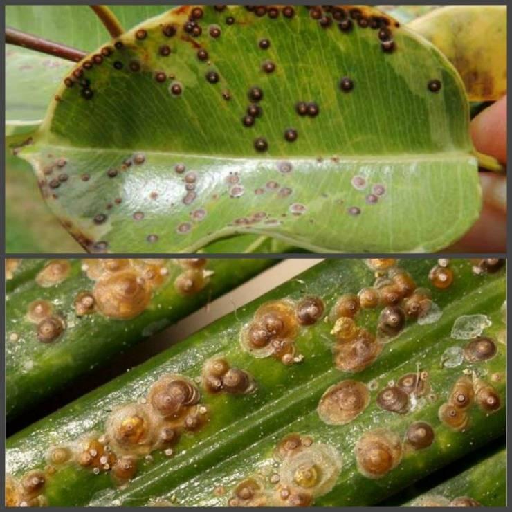 Щитовки: фото и меры борьбы с калифорнийской щитовкой в саду эффективными средствами
