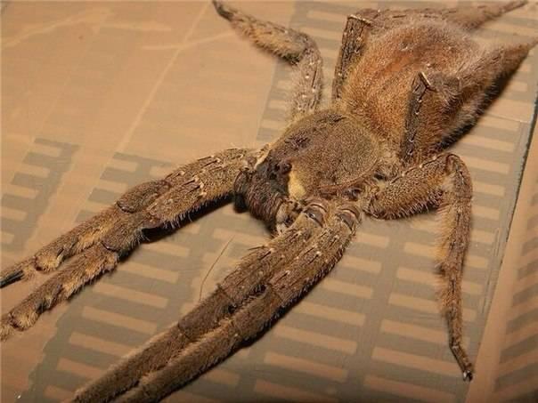 Бразильский странствующий паук-солдат: поясняем во всех подробностях