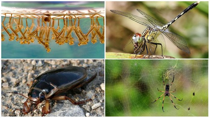 Чем питается комар