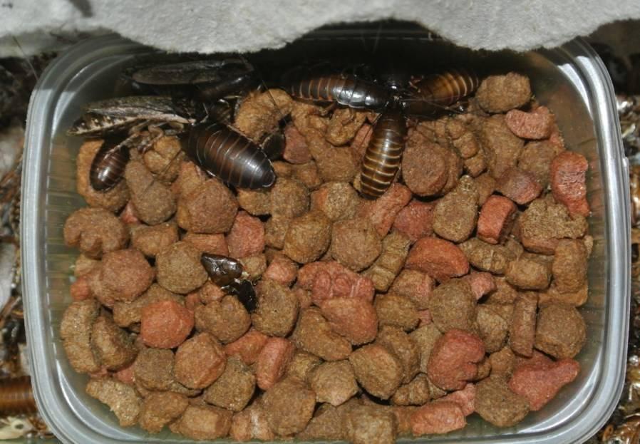 Мраморные тараканы содержание и разведение, с фото и практическими советами