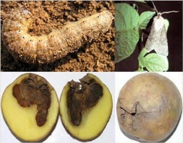 Картофельная моль: как с ней бороться (фото)
