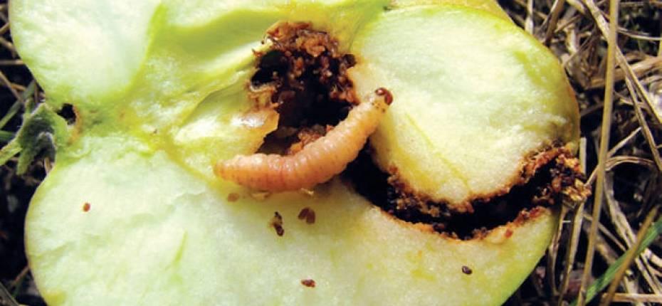 Борьба с плодожоркой на яблоне народными средствами борьба с плодожоркой на яблоне народными средствами
