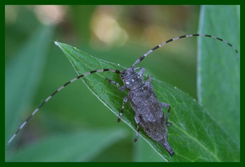 Жуки-усачи (cerambycidae) :: насекомые - разрушители сырой древесины