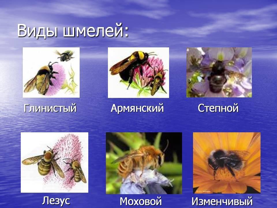 Шмель: описание с фото, образ жизни, виды шмелей