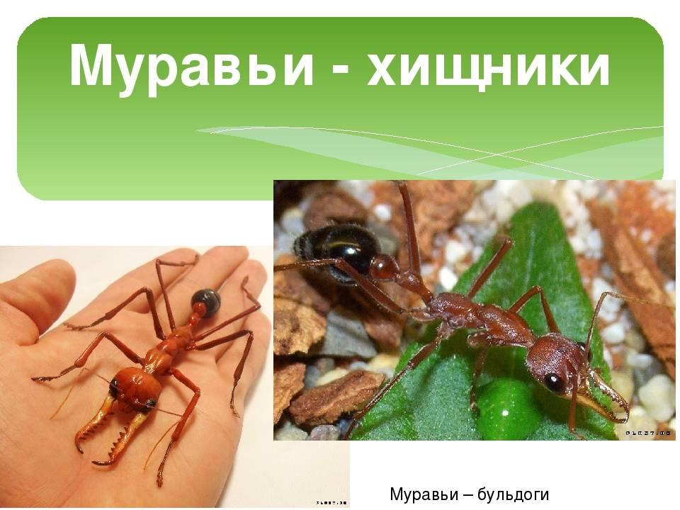 Красный муравей-бульдог