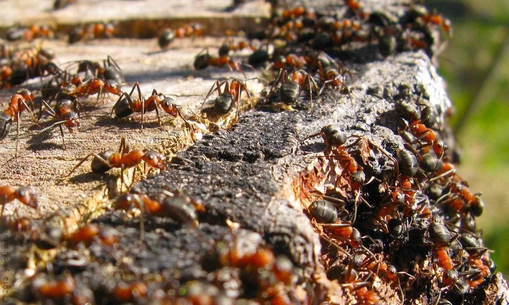 Чем питаются муравьи: что они едят в природе, в лесу, а также в саду, огороде или в квартире