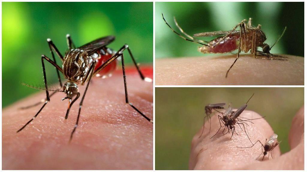 Малярийный комар - один из самых опасных насекомых