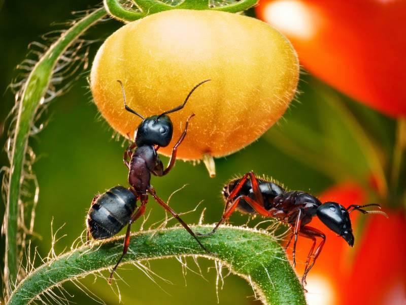 Лесные рыжие муравьи – фото и описание