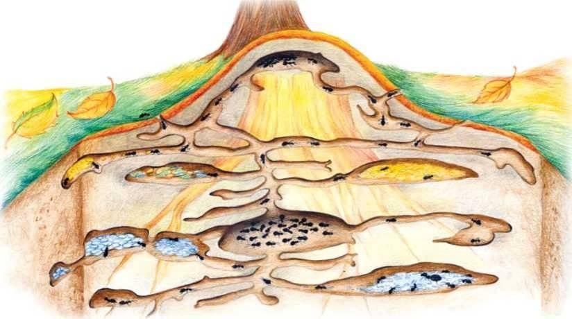 Подземное устройство муравейника листорезов