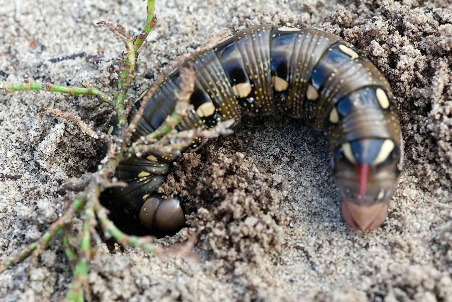 Ядовитые гусеницы - фото и описание