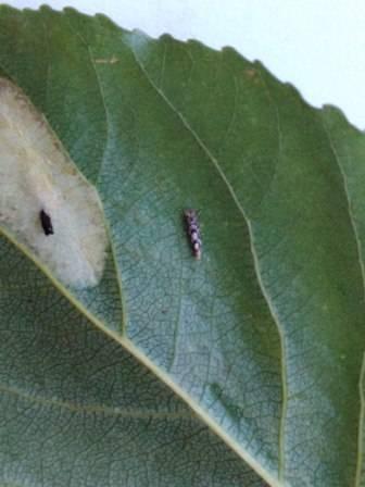 Как найти моль, насекомое, откуда берется моль платяная в квартире, сколько живет и как размножается