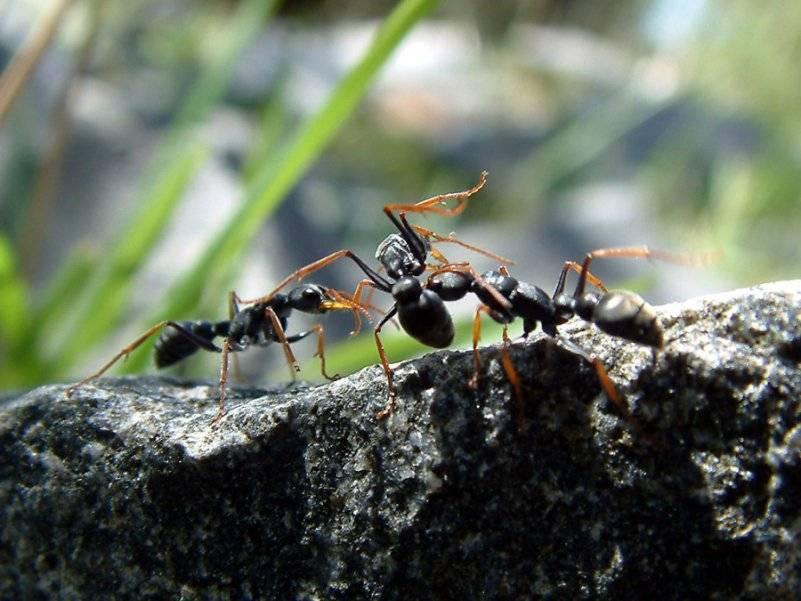 Особенности африканских муравьев-убийц