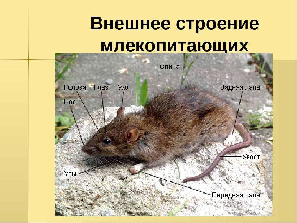 Мыши: виды, фото, способы борьбы с ними, чего они боятся, чем питаются в природе, сколько живут