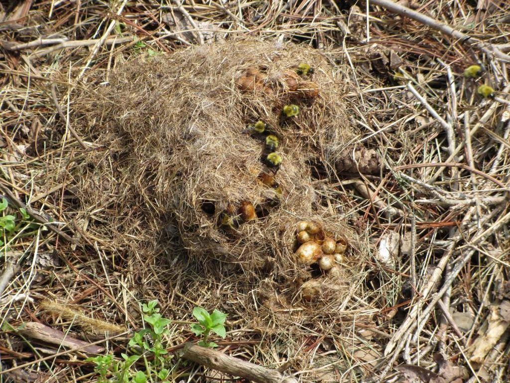 ✅ шмель: как выглядит это насекомое, матка шмеля, как размножаются, чем питаются - tehnomir32.ru