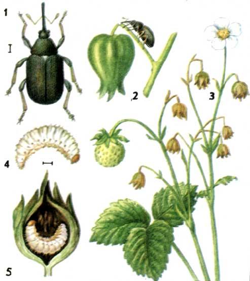 Обработка малины от болезней и вредителей, в том числе весной: чем опрыскать растение от червей, антракноза, гнили