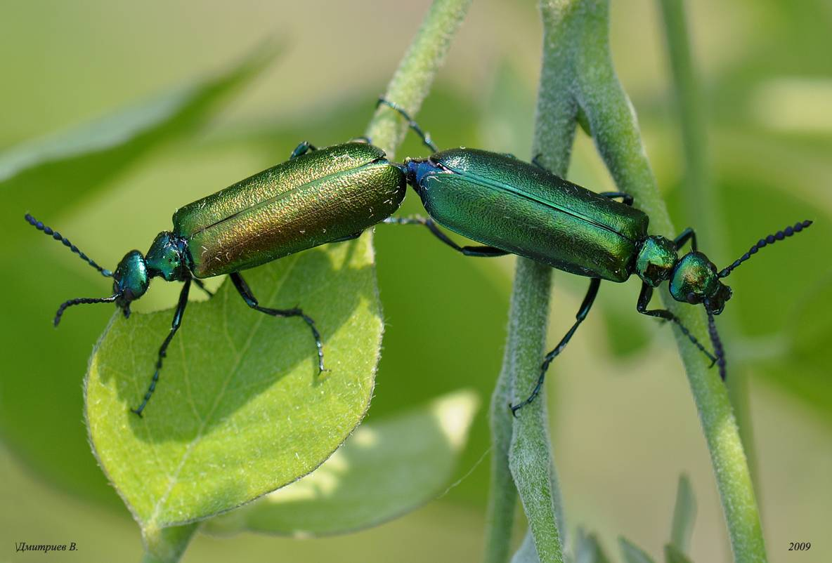 Усач-плотник: фото, особенности развития и ареал обитания жука