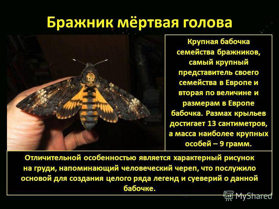 Мёртвая голова (бабочка)