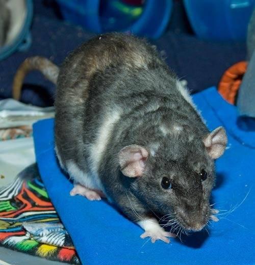 Сколько живут домашние крысы - люблю хомяков