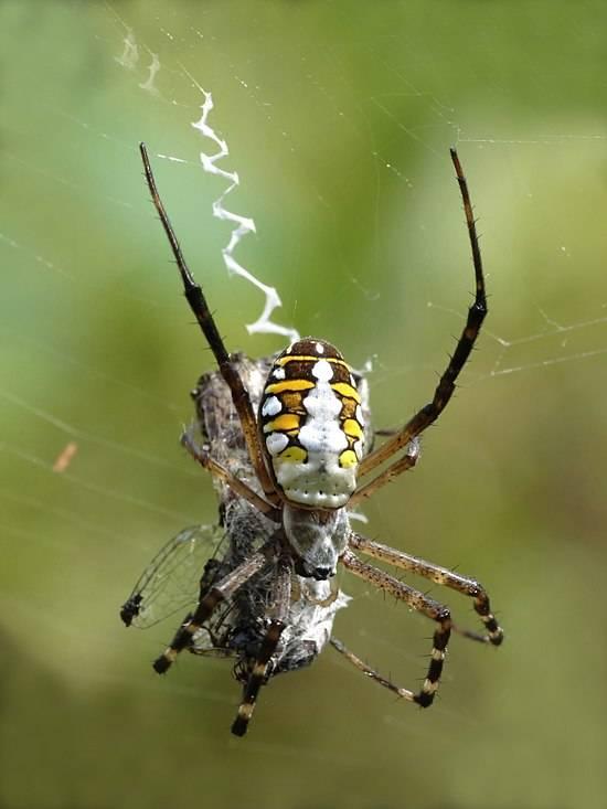 Воронковый паук: фото и описание, где обитает, чем питается