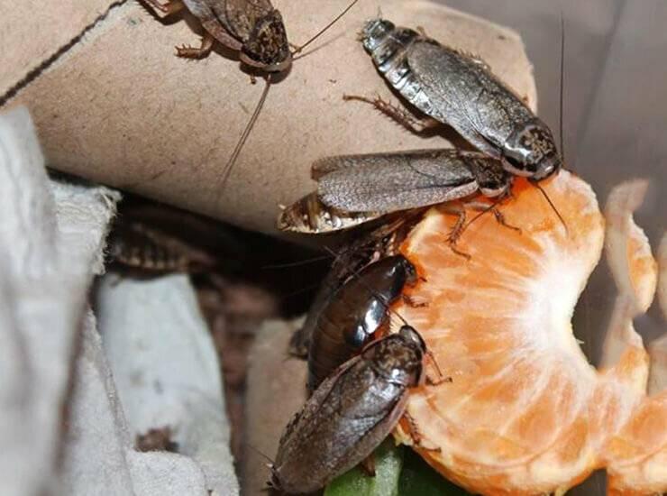 Мраморные тараканы: содержание, чем кормить, разведение, фото