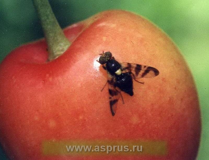 Как избавиться от вишневой мухи