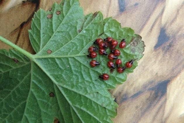 Как защитить малину от вредителей и правила борьбы с ними - огород, сад, балкон - медиаплатформа миртесен