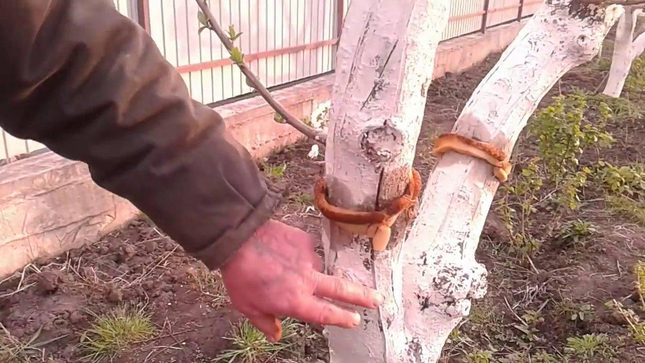 Березовый деготь: способы применения в саду и огороде против вредителей - огород, сад, балкон - медиаплатформа миртесен