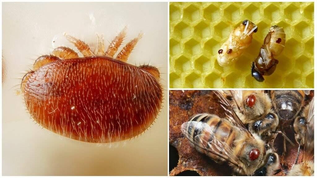 Варроатоз пчел: лечение и методы борьбы с клещом варроа