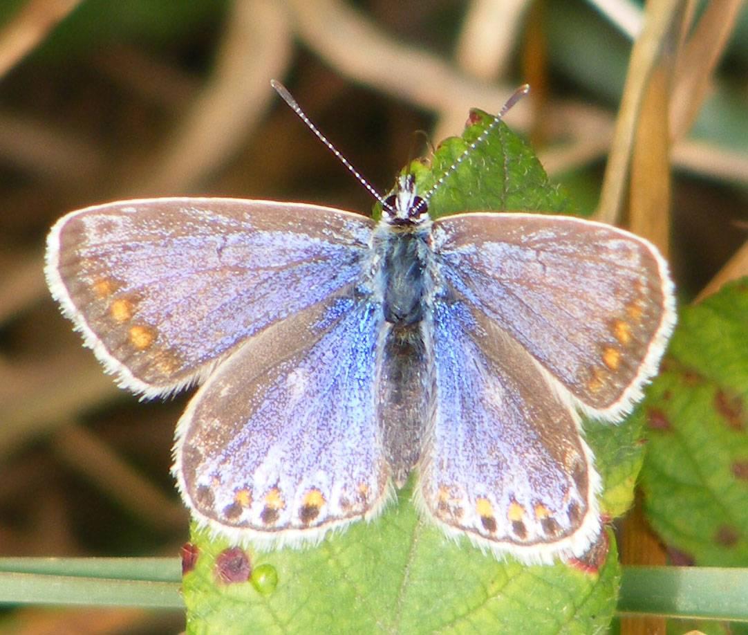 Голубянка серебристая, или голубянка коридон | мир животных и растений