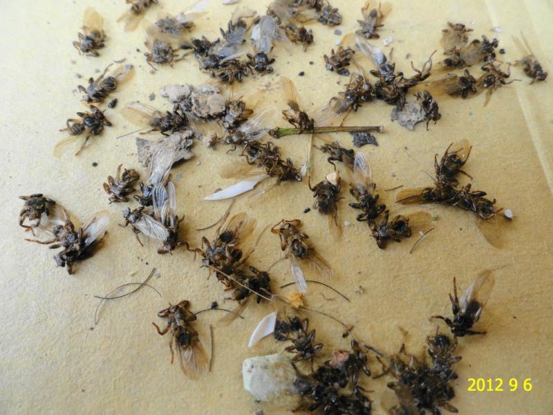 Лосиная блоха: внешний вид, среда обитания, методы размножения; способы защиты от вредителя